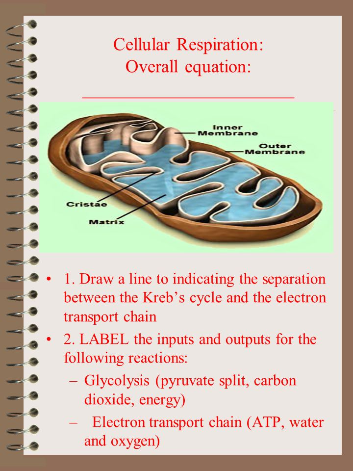 Cellular Respiration: Overall equation: _______________________ 1. Draw a line to indicating the separation between the Kreb's cycle and the electron
