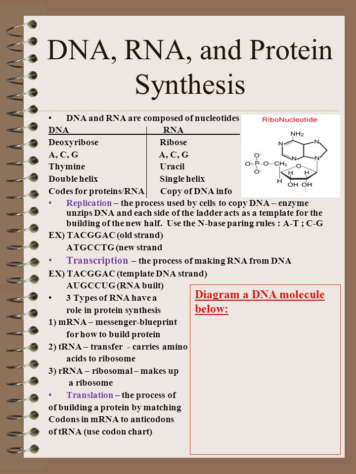 DNA, RNA, and Protein Synthesis DNA and RNA are composed of nucleotides DNA RNA____________ Deoxyribose Ribose A, C, G Thymine Uracil Double helix Sin