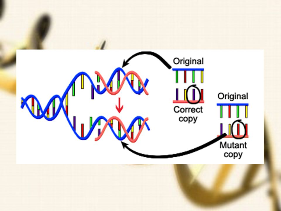 How mutations occur DNA fails to copy accurately Most of the mutations that we think matter to evolution are