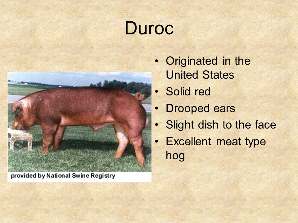 Duroc Originated in the United States Solid red Drooped ears Slight dish to the face Excellent meat type hog