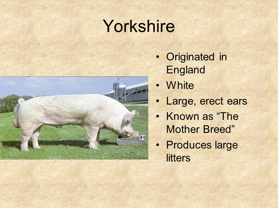 Yorkshire Originated in England White Large, erect ears Known as The Mother Breed Produces large litters