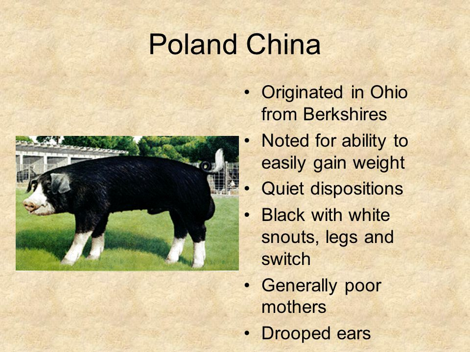 Poland China Originated in Ohio from Berkshires Noted for ability to easily gain weight Quiet dispositions Black with white snouts, legs and switch Generally poor mothers Drooped ears