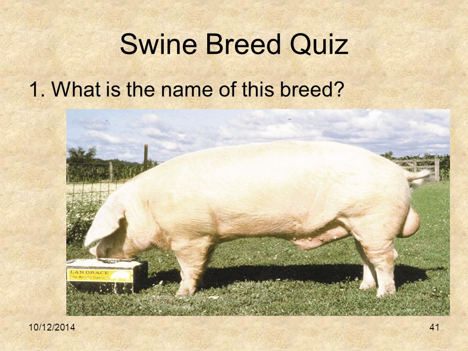 Swine Breed Quiz 1. What is the name of this breed? 10/12/201441