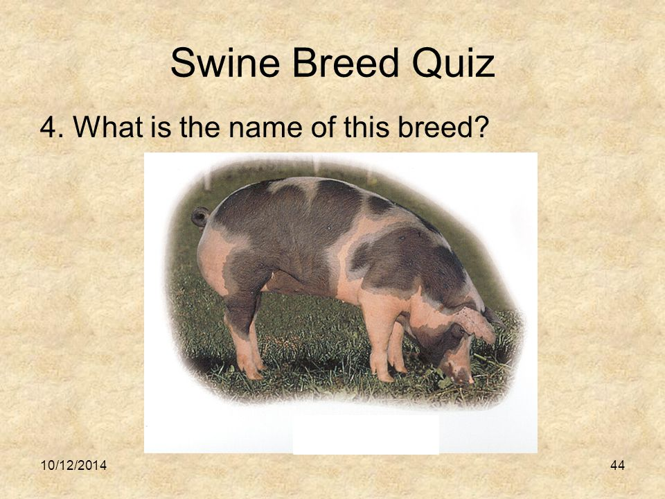 Swine Breed Quiz 4. What is the name of this breed? 10/12/201444