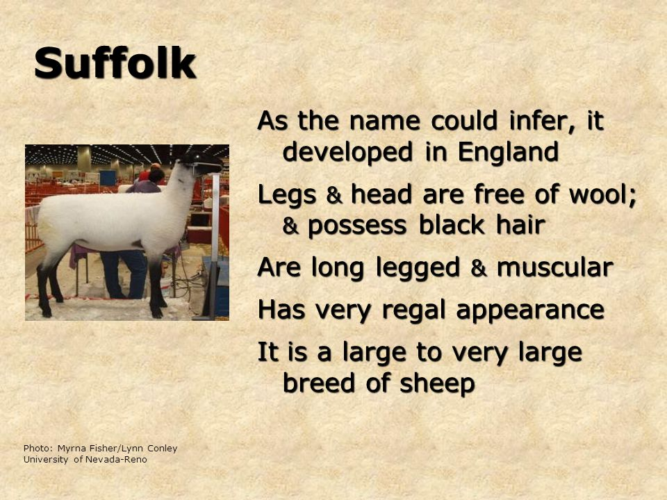 Suffolk As the name could infer, it developed in England Legs & head are free of wool; & possess black hair Are long legged & muscular Has very regal appearance It is a large to very large breed of sheep Photo: Myrna Fisher/Lynn Conley University of Nevada-Reno