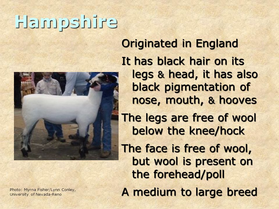 Hampshire Originated in England It has black hair on its legs & head, it has also black pigmentation of nose, mouth, & hooves The legs are free of wool below the knee/hock The face is free of wool, but wool is present on the forehead/poll A medium to large breed Photo: Myrna Fisher/Lynn Conley, University of Nevada-Reno