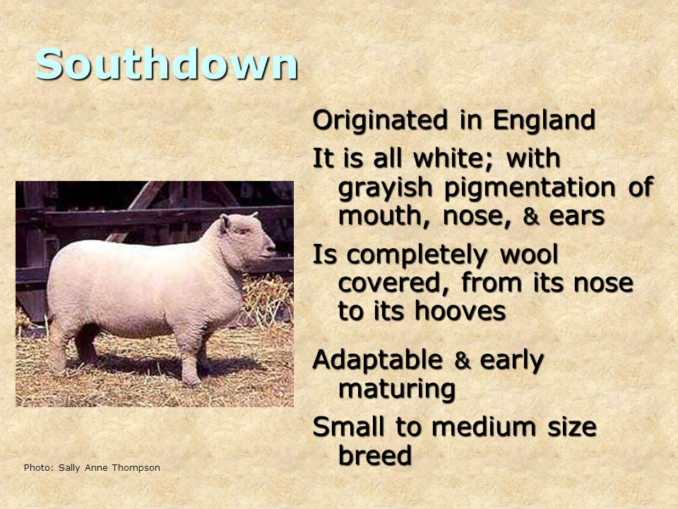Southdown Originated in England It is all white; with grayish pigmentation of mouth, nose, & ears Is completely wool covered, from its nose to its hooves Adaptable & early maturing Small to medium size breed Photo: Sally Anne Thompson