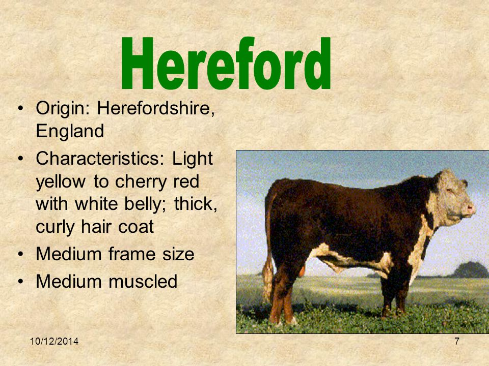 10/12/20147 Origin: Herefordshire, England Characteristics: Light yellow to cherry red with white belly; thick, curly hair coat Medium frame size Medium muscled