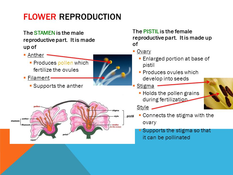 The STAMEN is the male reproductive part. It is made up of  Anther  Produces pollen which fertilize the ovules  Filament  Supports the anther The