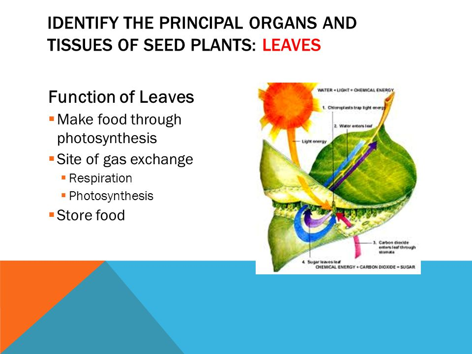 Function of Leaves  Make food through photosynthesis  Site of gas exchange  Respiration  Photosynthesis  Store food IDENTIFY THE PRINCIPAL ORGANS