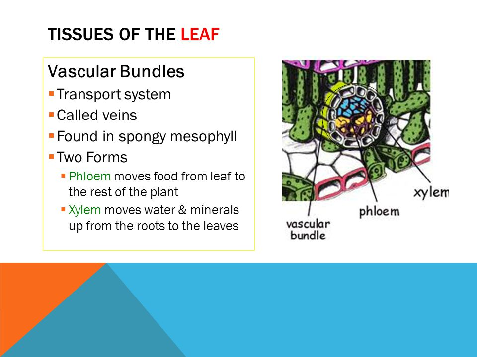 Vascular Bundles  Transport system  Called veins  Found in spongy mesophyll  Two Forms  Phloem moves food from leaf to the rest of the plant  Xy