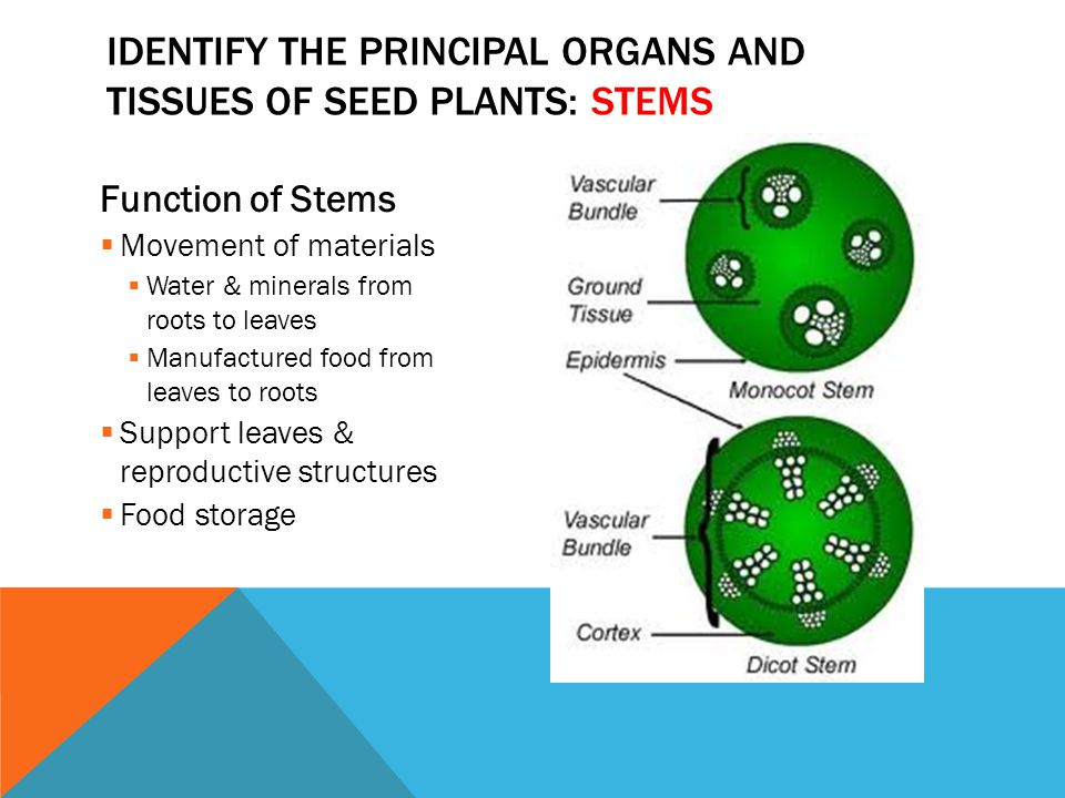 Function of Stems  Movement of materials  Water & minerals from roots to leaves  Manufactured food from leaves to roots  Support leaves & reproduc