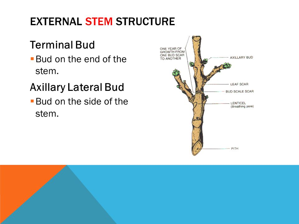 Terminal Bud  Bud on the end of the stem. Axillary Lateral Bud  Bud on the side of the stem. EXTERNAL STEM STRUCTURE