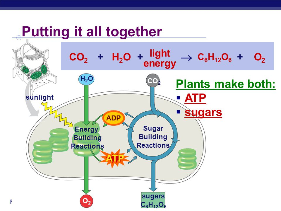 Sugar Building Reactions sugars C 6 H 12 O 6 CO 2 Sugar Building Reactions ATP CO 2 C 6 H 12 O 6 ADP ATP  ++ ADP  builds sugars  uses ATP  cycles