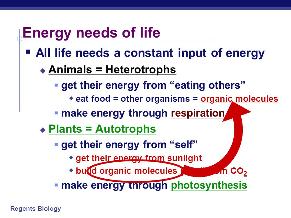 Regents Biology Energy needs of life  All life needs a constant input of energy  Animals = Heterotrophs  get their energy from eating others  eat food = other organisms = organic molecules  make energy through respiration  Plants = Autotrophs  get their energy from self  get their energy from sunlight  build organic molecules (food) from CO 2  make energy through photosynthesis