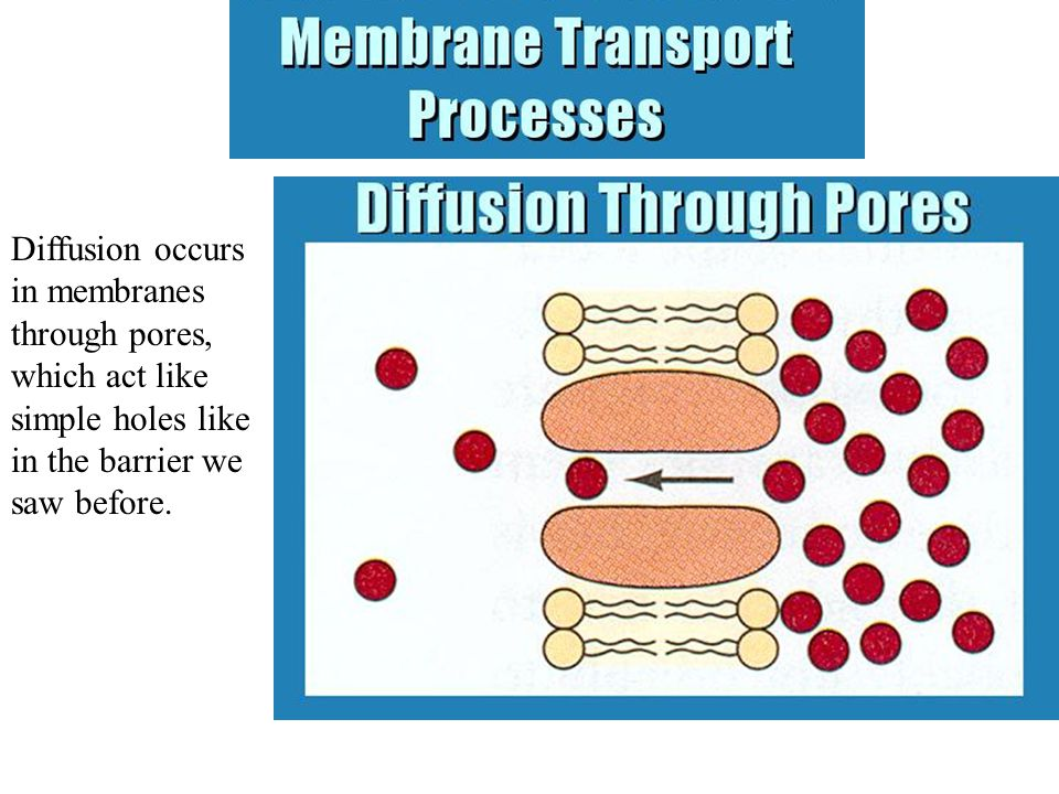 Diffusion occurs in membranes through pores, which act like simple holes like in the barrier we saw before.