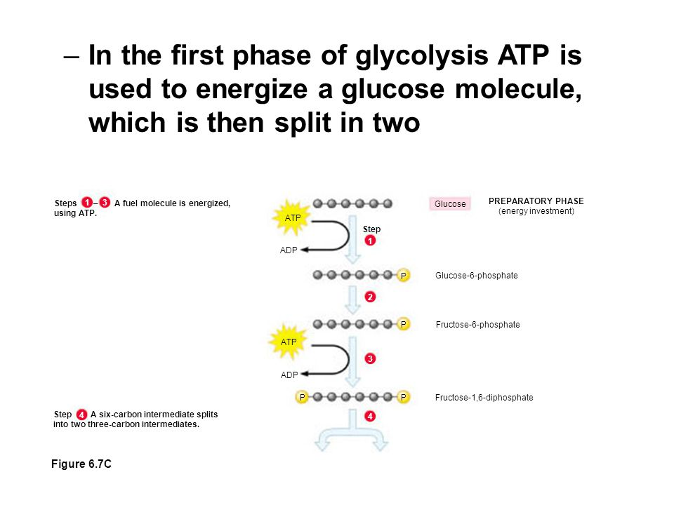 –In the first phase of glycolysis ATP is used to energize a glucose molecule, which is then split in two ATP Glucose PREPARATORY PHASE (energy investment) ADP Step Glucose-6-phosphate Fructose-6-phosphate P P Fructose-1,6-diphosphate ATP ADP P P Steps – A fuel molecule is energized, using ATP.