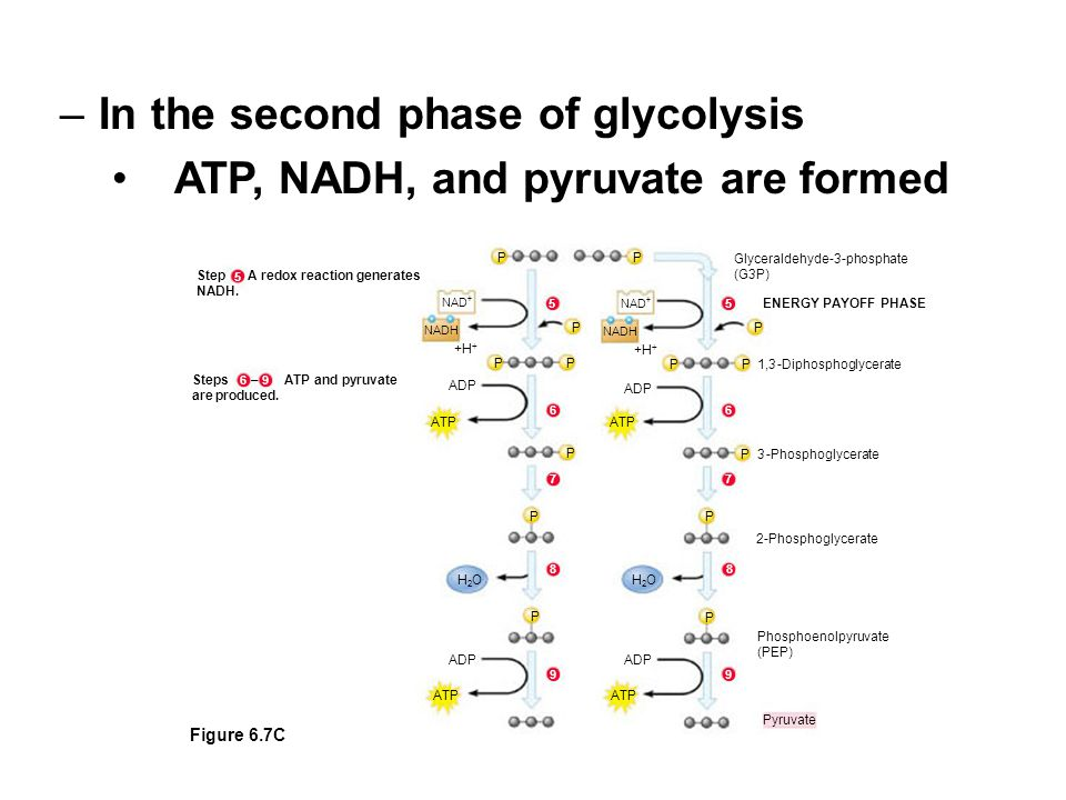 Pyruvate ATP ADP ATP ADP P ATP ADP P 2-Phosphoglycerate P H2OH2O H2OH2O Phosphoenolpyruvate (PEP) Steps – ATP and pyruvate are produced.