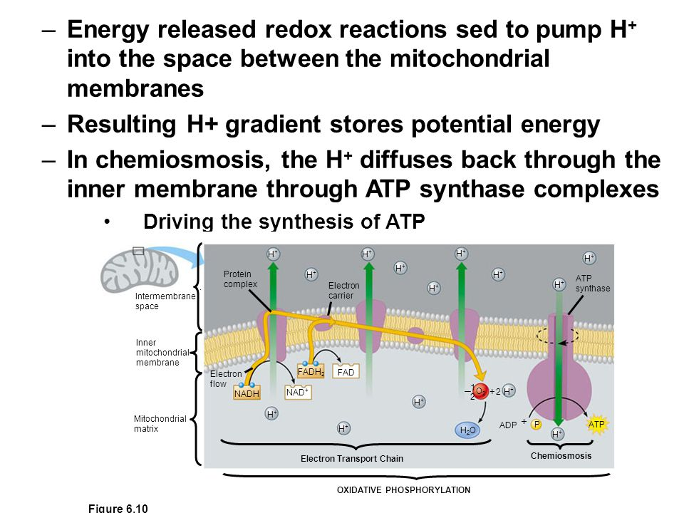 –Energy released redox reactions sed to pump H + into the space between the mitochondrial membranes –Resulting H+ gradient stores potential energy –In chemiosmosis, the H + diffuses back through the inner membrane through ATP synthase complexes Driving the synthesis of ATP Intermembrane space Inner mitochondrial membrane Mitochondrial matrix Protein complex Electron flow Electron carrier NADH NAD + FADH 2 FAD H2OH2O ATP ADP ATP synthase H+H+ H+H+ H+H+ H+H+ H+H+ H+H+ H+H+ H+H+ H+H+ H+H+ H+H+ H+H+ H+H+ H+H+  P O2O2 Electron Transport Chain Chemiosmosis.