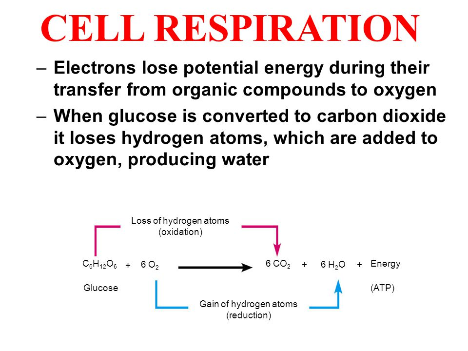 CELL RESPIRATION –Electrons lose potential energy during their transfer from organic compounds to oxygen –When glucose is converted to carbon dioxide it loses hydrogen atoms, which are added to oxygen, producing water C 6 H 12 O 6 6 O 2 6 CO 2 6 H 2 O Loss of hydrogen atoms (oxidation) Gain of hydrogen atoms (reduction) Energy (ATP)Glucose + ++
