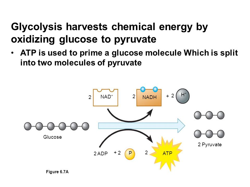 Glycolysis harvests chemical energy by oxidizing glucose to pyruvate ATP is used to prime a glucose molecule Which is split into two molecules of pyruvate NAD  NADH HH Glucose 2 Pyruvate ATP 2 P 2 ADP 2 2 2 2 + + Figure 6.7A