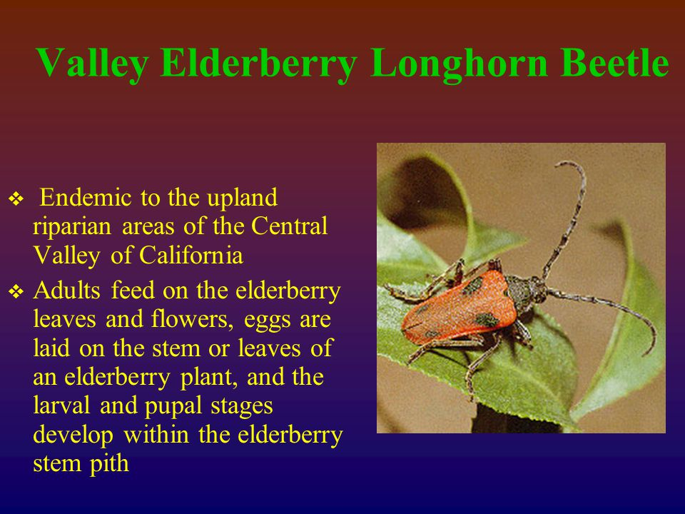 Valley Elderberry Longhorn Beetle  Endemic to the upland riparian areas of the Central Valley of California  Adults feed on the elderberry leaves and flowers, eggs are laid on the stem or leaves of an elderberry plant, and the larval and pupal stages develop within the elderberry stem pith