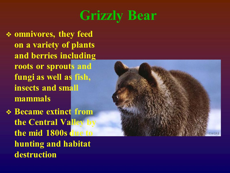 Grizzly Bear  omnivores, they feed on a variety of plants and berries including roots or sprouts and fungi as well as fish, insects and small mammals  Became extinct from the Central Valley by the mid 1800s due to hunting and habitat destruction
