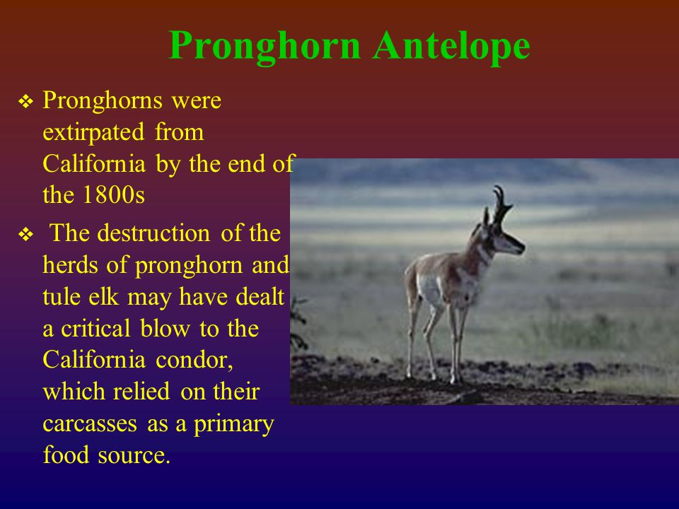 Pronghorn Antelope  Pronghorns were extirpated from California by the end of the 1800s  The destruction of the herds of pronghorn and tule elk may have dealt a critical blow to the California condor, which relied on their carcasses as a primary food source.