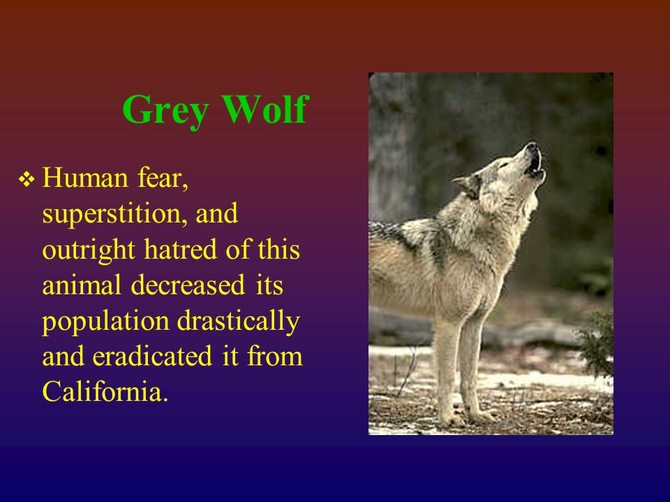 Grey Wolf  Human fear, superstition, and outright hatred of this animal decreased its population drastically and eradicated it from California.