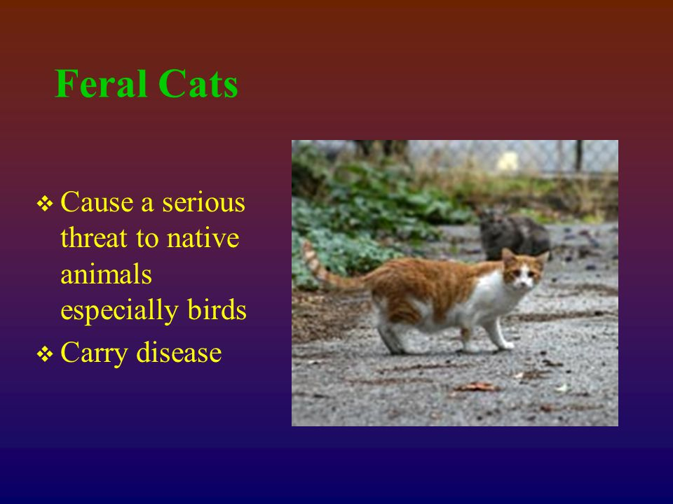 Feral Cats  Cause a serious threat to native animals especially birds  Carry disease