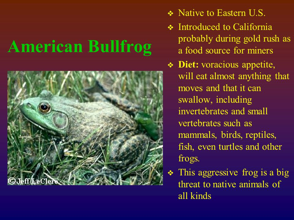 American Bullfrog  Native to Eastern U.S.
