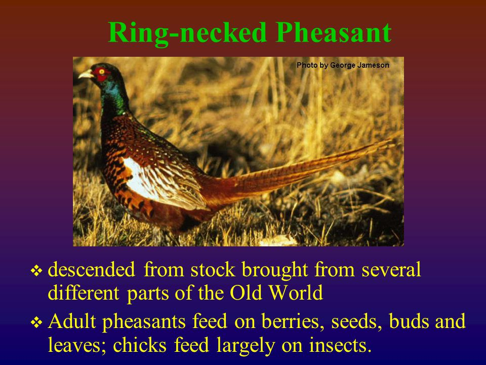 Ring-necked Pheasant  descended from stock brought from several different parts of the Old World  Adult pheasants feed on berries, seeds, buds and leaves; chicks feed largely on insects.