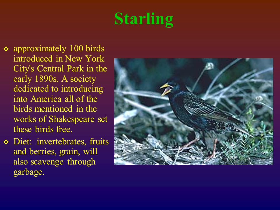 Starling  approximately 100 birds introduced in New York City s Central Park in the early 1890s.