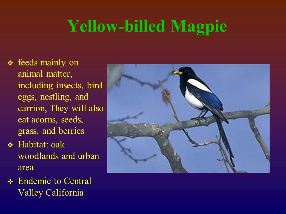 Yellow-billed Magpie  feeds mainly on animal matter, including insects, bird eggs, nestling, and carrion, They will also eat acorns, seeds, grass, and berries  Habitat: oak woodlands and urban area  Endemic to Central Valley California