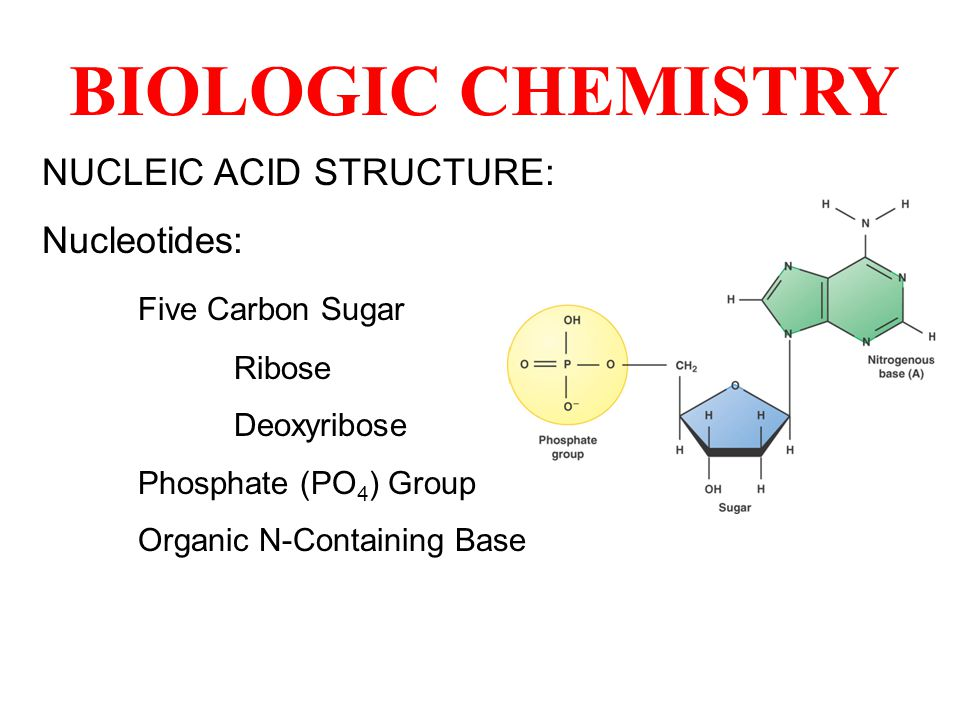 BIOLOGIC CHEMISTRY NUCLEIC ACID STRUCTURE: Nucleotides: Five Carbon Sugar Ribose Deoxyribose Phosphate (PO 4 ) Group Organic N-Containing Base
