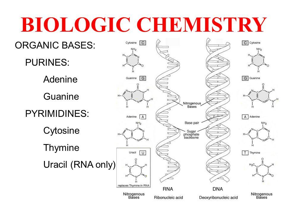 ORGANIC BASES: PURINES: Adenine Guanine PYRIMIDINES: Cytosine Thymine Uracil (RNA only)