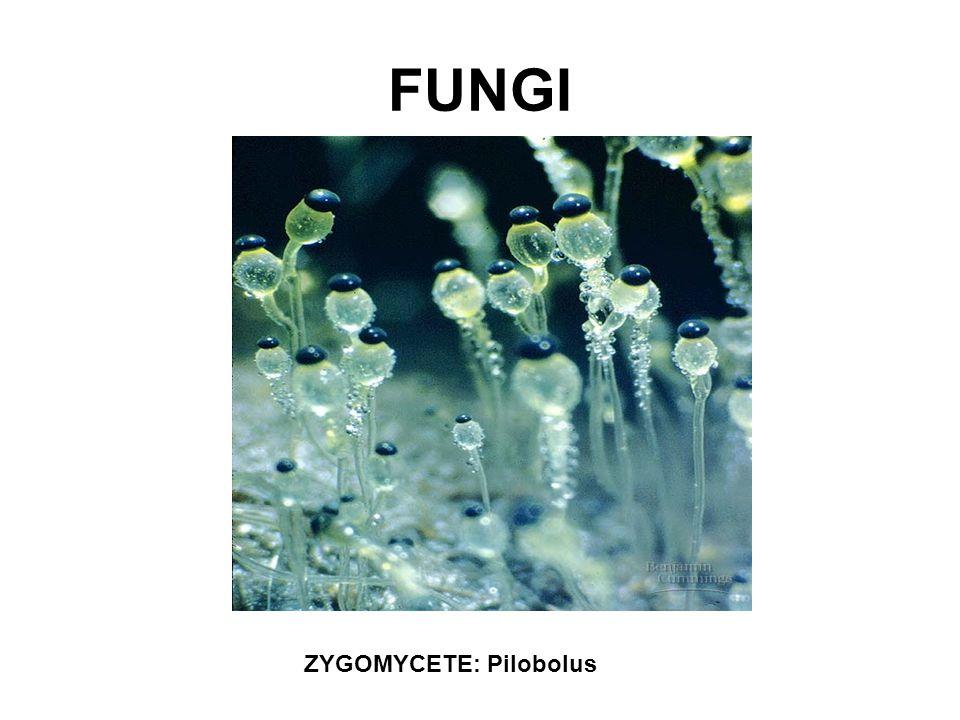 ZYGOMYCETE: Pilobolus