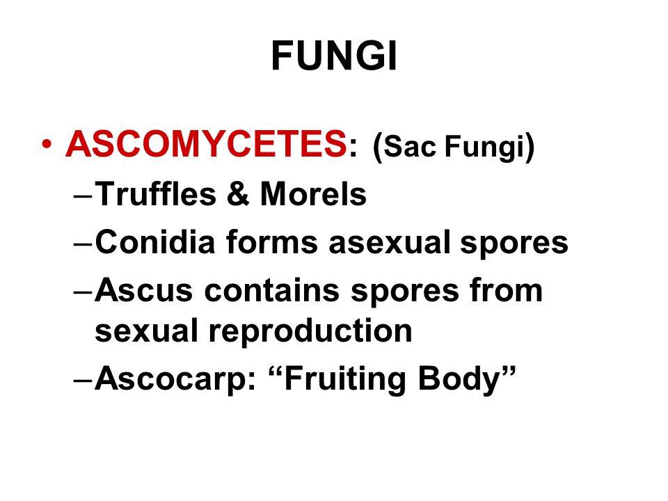 "FUNGI ASCOMYCETES : ( Sac Fungi ) –Truffles & Morels –Conidia forms asexual spores –Ascus contains spores from sexual reproduction –Ascocarp: ""Fruitin"