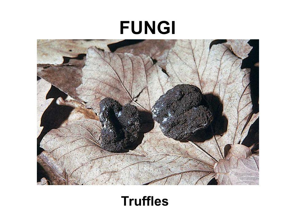 FUNGI Truffles