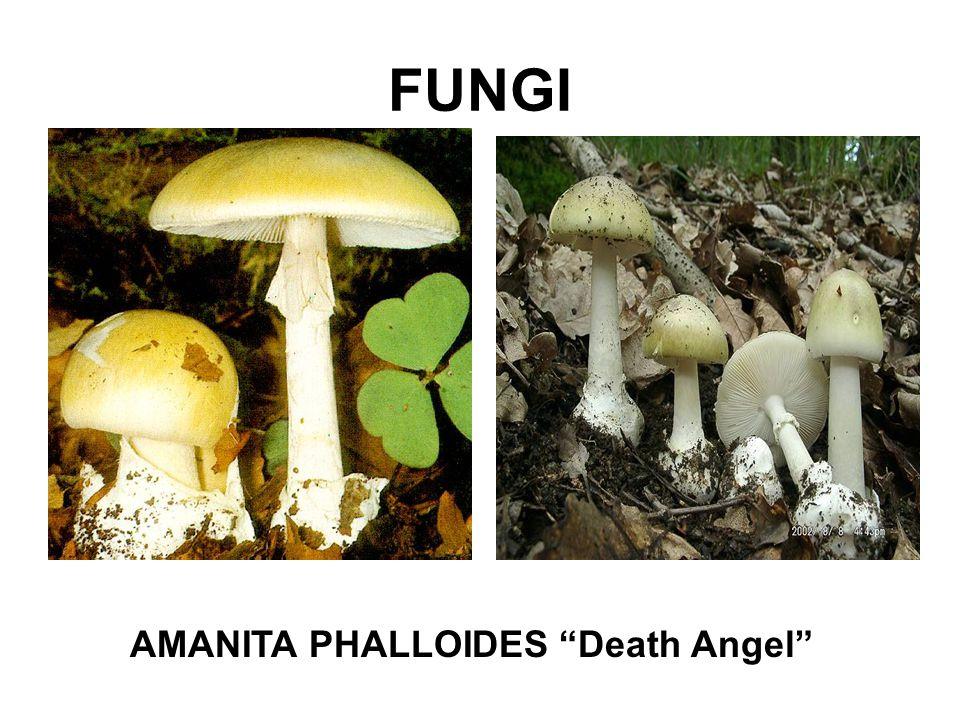 "FUNGI AMANITA PHALLOIDES ""Death Angel"""