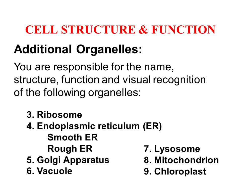 Additional Organelles: You are responsible for the name, structure, function and visual recognition of the following organelles: 3. Ribosome 4. Endopl
