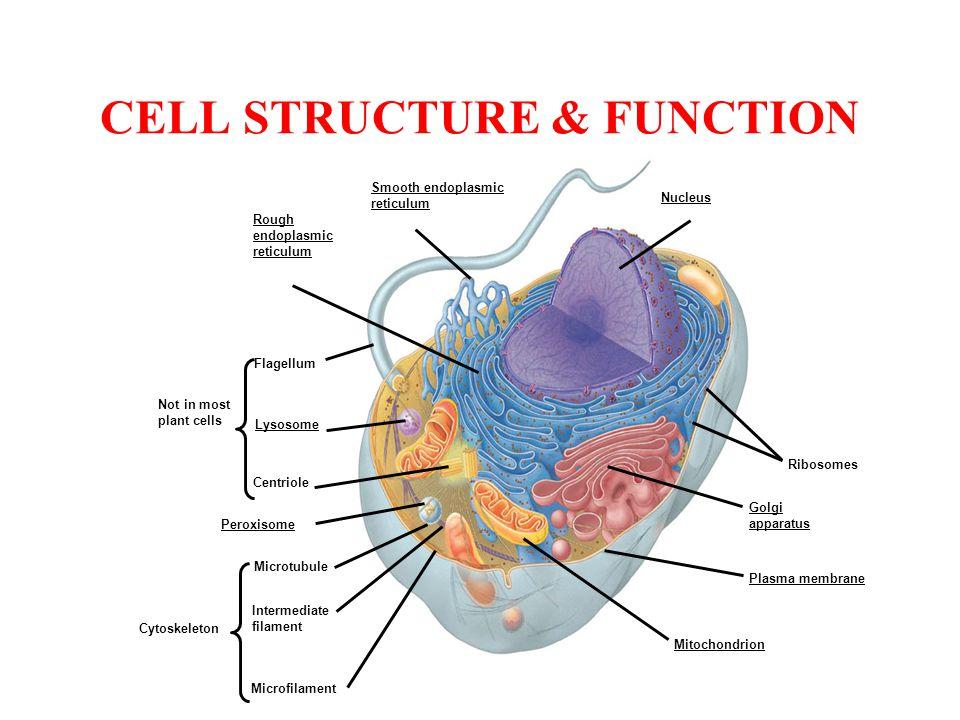 CELL STRUCTURE & FUNCTION Nucleus Smooth endoplasmic reticulum Rough endoplasmic reticulum Ribosomes Golgi apparatus Plasma membrane Mitochondrion Fla