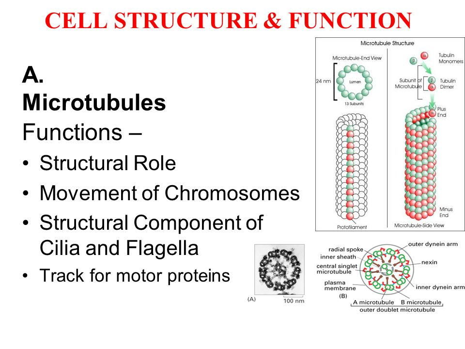 CELL STRUCTURE & FUNCTION A. Microtubules Functions – Structural Role Movement of Chromosomes Structural Component of Cilia and Flagella Track for mot