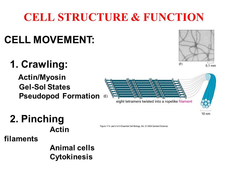 CELL MOVEMENT: 1. Crawling: Actin/Myosin Gel-Sol States Pseudopod Formation 2. Pinching Actin filaments Animal cells Cytokinesis