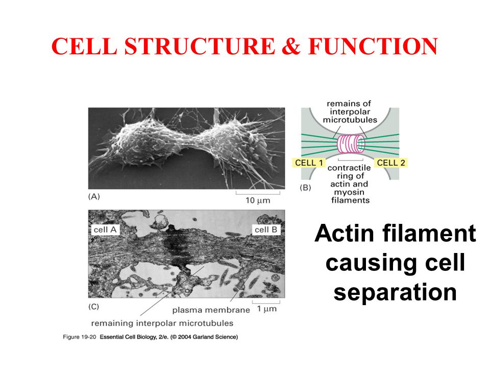 CELL STRUCTURE & FUNCTION Actin filament causing cell separation