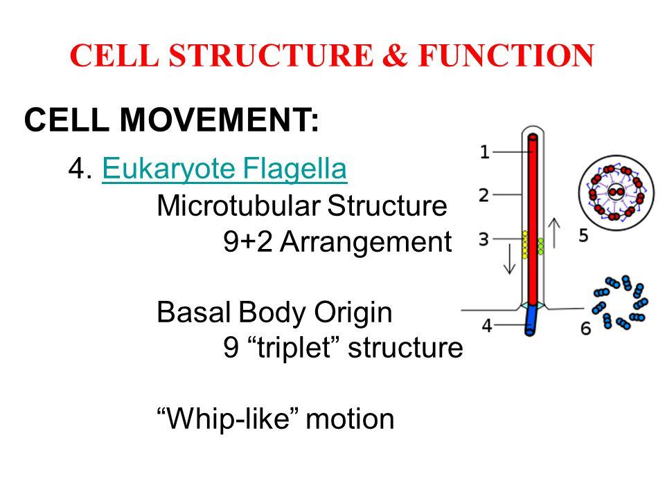 "CELL MOVEMENT: 4. Eukaryote FlagellaEukaryote Flagella Microtubular Structure 9+2 Arrangement Basal Body Origin 9 ""triplet"" structure ""Whip-like"" moti"