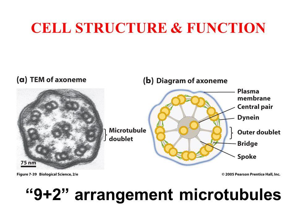 "CELL STRUCTURE & FUNCTION ""9+2"" arrangement microtubules"