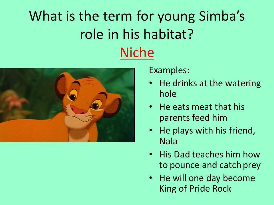 What is the term for young Simba's role in his habitat? Niche Examples: He drinks at the watering hole He eats meat that his parents feed him He plays