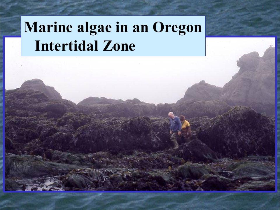 Marine algae in an Oregon Intertidal Zone