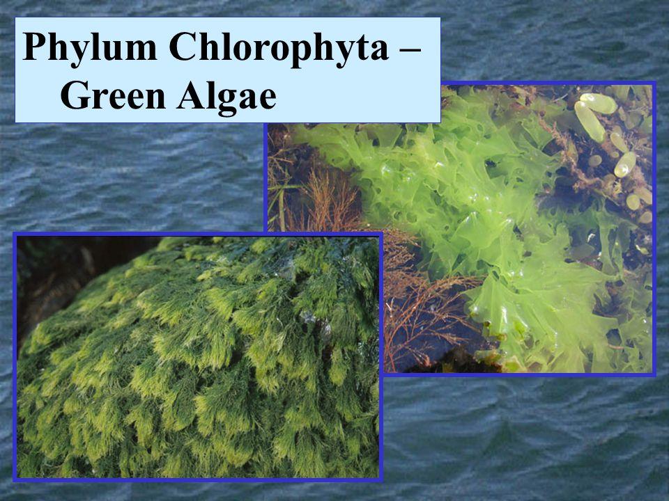 Phylum Chlorophyta – Green Algae